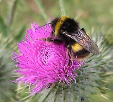 Bumblebee on Scotch Thistle. by RossHeywood