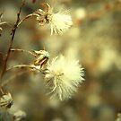 Wild Puff by Sharon Woerner