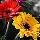 gerbera plant by flashcompact
