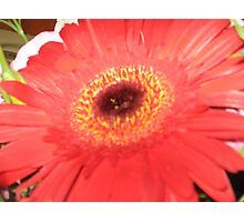 Its got to be red gerbera Photographic Print