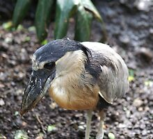 Boat-billed Heron by Lorelle Gromus