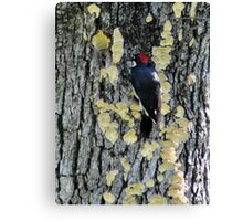 Inverted Red-breasted sapsucker in Sulfur Shelf fungi Canvas Print