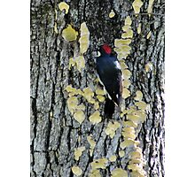 Inverted Red-breasted sapsucker in Sulfur Shelf fungi Photographic Print