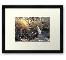 Red-Tailed Hawk - Morning Light Framed Print