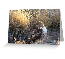 Red-Tailed Hawk - Morning Light Greeting Card
