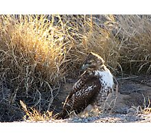 Red-Tailed Hawk - Morning Light Photographic Print