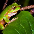 Cascade Tree Frog - Litoria pearsoniana  by D Byrne