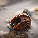 New Life within - Shell at the beach by NicoleBPhotos