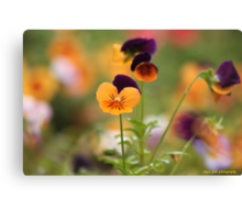 Colourful Pansies Canvas Print