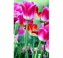A Red Tulip Photographic Print
