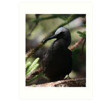 Black Noddy Lord Howe Island Art Print
