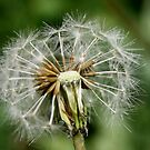 Dandelion on Soft Green by Melissa Park