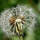 Dandelion on Soft Green by Melissa Park