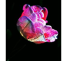 A Tulip After The Rain Photographic Print