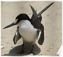 Sooty Tern North Bay Lord Howe Island Poster
