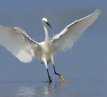 Snowy Egret by Rob Lavoie