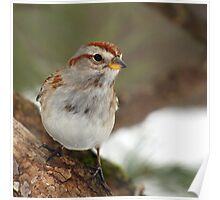My Favorite Sparrow (American Tree Sparrow) Poster