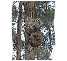 Koala climbing Eucalypt - Otway Ranges, Victoria Poster