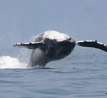 Humpback Breach by Bob Moore