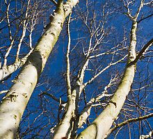 Paperbark Birch against Blue Sky by physiognomic