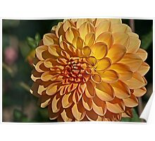 Dahlia of Summer Past Poster