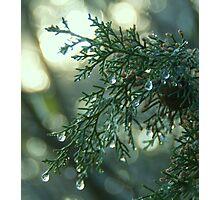 Frozen Cipress Photographic Print
