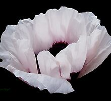 Poppy on Ebony by LoneAngel