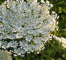 Queen Annes's Lace by nadinecreates