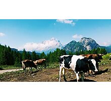 Cows in Dolomites Photographic Print