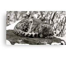 Zoe the snow leopard.  Canvas Print