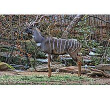 Kudu Portrait Photographic Print