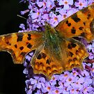 Comma Butterfly by pix-elation