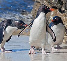 The Rocky Horror Show (Rockhopper Penguins, Falklands) by Krys Bailey