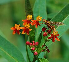 Yellow wasp on Scarlet Milkweed by Ben Waggoner