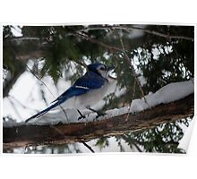 Blue Jay in the Cedars Poster