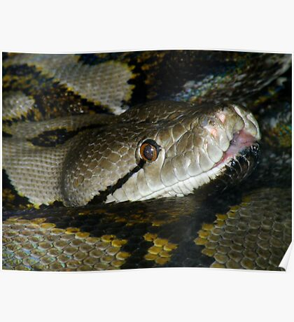 Reticulated Python Closeup Poster