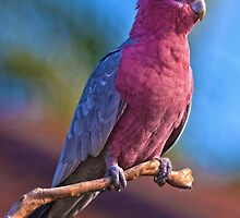 Galah by Dave Kelly