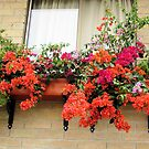 Bougainvillea in the window by Esperanza Gallego