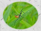 Assassin Bug Nymph (Reduviidae) by MotherNature