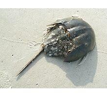 Horseshoe Crab (Limulus polyphemus) Photographic Print