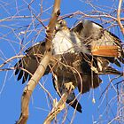 Red-tailed Hawks ~ Paired and Procreating....... by Kimberly P-Chadwick