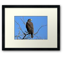 Harris's Hawk ~ Non-Captive Framed Print