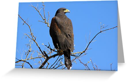 Harris's Hawk ~ Non-Captive by Kimberly Chadwick