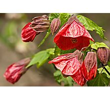Little Red Bells Photographic Print