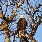 Good Morning Mr Bald Eagle by DARRIN ALDRIDGE