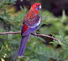Crimson Rosella Parrot taken Coolah NSW  by Alwyn Simple