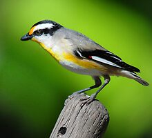 Straited Pardalote - Mackay Queensland by Alwyn Simple