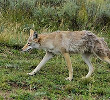 A very wiley coyote! by JamesA1
