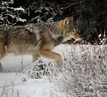 Slick Wolf by JamesA1