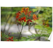 Barbados Spring Theme - Pride of Barbados (Dwarf Poinciana or Flower Fence) If you like, please purchase, try a cell phone cover thanks Poster